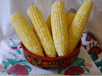 Сахарная кукуруза Кубанский Биколор